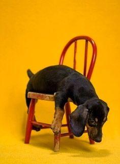 by catherine ledner - love this dachshund!
