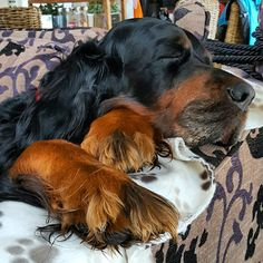 Koda, Gordon Setter taking a nap Cute Dogs And Puppies, Big Dogs, I Love Dogs, Doggies, Setter Puppies, Red And White Setter, Gordon Setter, Irish Setter, Dogs Of The World