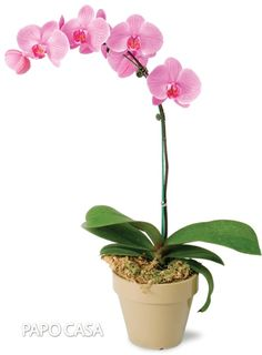 Orchid Growing Tips - Choosing, Watering, Repotting, Fertilizing and Maintenance Tips - The beauty and variety found in the orchid family has made this exotic plant extremely attractive - Moth Orchid, Phalaenopsis Orchid, Orchid Plants, Orchid Care, Exotic Plants, Orchid Repotting, Growing Orchids, Growing Hibiscus, Orchids Garden