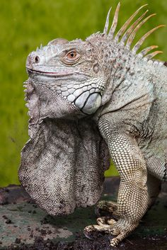 Iguana in Ouwehands Zoo, Rhenen (NL) by evb-photography on Flickr.