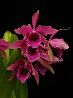 Cattleya orchid flower – learn how to grow http://www.growplants.org/growing/cattleya: