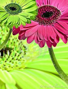 Pink And Green Gerbera Daisies Stock Image - Image of flower, floral: 18412541 Pink Green Wedding, Pink And Green, Wedding Colors, Wedding Flowers, Gerbera Daisy Care, Gerber Daisies, Stock Image, My Flower, Green Colors