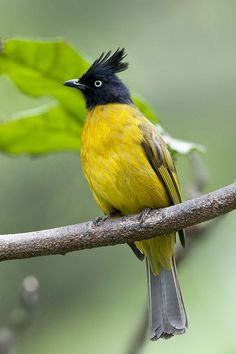 Black-Crested Yellow Bulbul (Pycnonotus flaviventris), from India & southeast Asia ~ _50K8374cs2 by K S Kong*