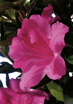 Rhododendron Purple Passion - Great Purple Bloom Hard to F Wide - Typically 2 Gallon) Iris Flowers, Flowers In Hair, Yellow Flowers, Flowers Garden, Evergreen Landscape, Evergreen Shrubs, Azaleas Landscaping, Plants Under Trees, Landscape Elements
