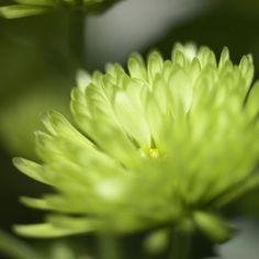 Beautiful green flower. #Petals #Nature #Spring
