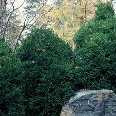 Chapel View™ Japanese Cedar