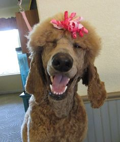 """""""Soleil with a smile and a wink."""" Grooming by Dogs By Dawn in Gridley, CA"""