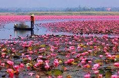 Udon Thani Lotusbloem