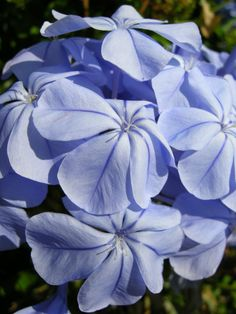 Plumbago (Plumbago auriculata) Evergreen, can be pruned into rounded shrub or grown like a vine. Rounded clusters blue or white 6 in across, bloom most of year zones 10 Light sandy soils with good drainage - no lime; likes slightly acidic pH. Sandy Soil, Propagating Plants, Planting Flowers, Florida Gardening, Tropical Garden, Flowers, Trees To Plant, Shade Flowers, Shade Plants