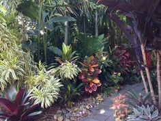 Dracaena Reflexa 'Song of India' in a lovely garden -- pinned by gardener in Brisbane, Australia. Click to see large photo -- very nice.
