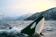 """Juvenile female Killer Whale (Orcinus Orca) illuminated by warm morning light. Tysfjord, Norway"""