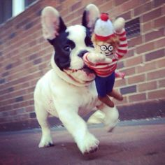 """I found Waldo, I found Waldo!!"", adorable French Bulldog Puppy.❤️"