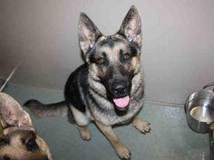 German Shepherd Dog dog for Adoption in Placerville, CA. ADN-409938 on PuppyFinder.com Gender: Male. Age: Adult