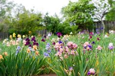 How to Grow, Maintain, and Divide Bearded Iris Growing these elegant spring flowers is easy. Easy To Grow Flowers, Growing Flowers, Planting Flowers, Flowers Garden, Growing Irises, Long Blooming Perennials, Flowers Perennials, Garden Care, Iris Flowers