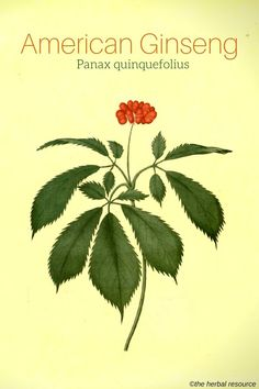 Arteries Remedies American Ginseng Panax quinquefolius - Information on the side effects, dosage and benefits of the herb American ginseng (Panax quinquefolius) and the common and traditional uses of its root Herbal Plants, Medicinal Plants, Natural Health Remedies, Herbal Remedies, Natural Herbs, Natural Healing, Natural Medicine, Herbal Medicine, Herbs