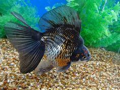 Orange Kirin Ryukin with Butterfly Tail Ryukin Goldfish, Comet Goldfish, Kitty Kitty, Carp, Pond, Watercolour, Aqua, Butterfly, Fancy