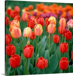 Close up Field of Tulips in Bloom Summer Washington