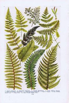 Antique Vintage Northern Ferns Color Natural History Print