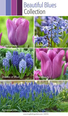 This collection includes some of nature's most vivid blue flowers: scilla, muscari, hyacinths, and the tulips Blue Beauty and Violet Beauty. Spring Flowering Bulbs, Blue Garden, Bulb Flowers, Shades Of Blue, Perennials, Outdoor Gardens, Tulips, Landscaping, Blues