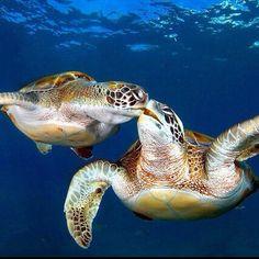 #turtles #kissing #love #cute #adorable #water #sea #ocean #dailyphoto #blue #follow #like #animals #animal #kiss #seaturtle #turtle #love #underwater #blue #reptile #reptiles