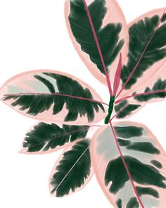 Ruby Rubber Plant – Best Garden Plants And Planting Image Deco, Rubber Plant, Rubber Tree, Plant Aesthetic, Decoration Plante, Pink Plant, Bedroom Plants, Interior Plants, Kitchen Interior