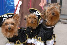 The cutest pirates on Halloween♥ - Dogs Wallpaper ID 1218963 - Desktop Nexus Animals