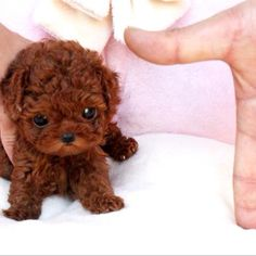 Find the perfect Toy Poodle puppies from all over the world! Micro Teacup Poodle, Teacup Poodle Puppies, Poodle Puppies For Sale, Tea Cup Poodle, Cute Puppies, Teacup Dogs, Miniature Pomeranian, Cute Small Dogs, Cute Little Dogs