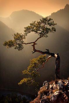 Arbres : symbiles de vie et de durée. Lone Mountain Pine