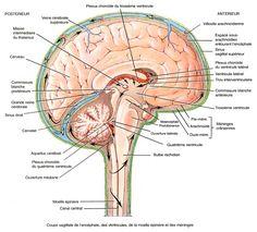 Coupe sagittale de l'encephale , des ventricules , de la moelle epiniere et des meninges