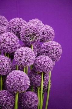 Alliums by adela