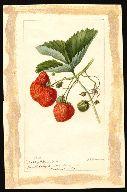 Search USDA Pomological Watercolor Collection Acquerelli botanici inizio '900 scaricabili in alta risoluzione