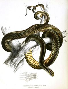 Image for Animal – Reptile – Snake – Green and yellow – African REP0095