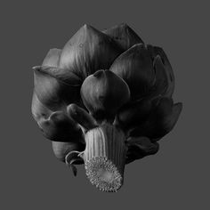 Homage to Edward Weston! Beautiful Light, Artichoke Fine Art Photography Black and White by CCooperImages