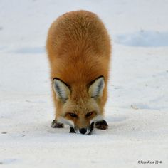 Red Fox by anjoudiscus - Rose-Ange Troalen