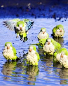 monk-parakeets-splashing in puddle Funny Birds, Cute Birds, Rare Animals, Animals And Pets, Beautiful Birds, Animals Beautiful, Bird Barn, Barn Owls, African Lovebirds