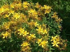 Saint Johns Wort Hypericum perforatum natural antidepressant without sideeffects Natural Antidepressant, Magic Herbs, Hillside Landscaping, Herbs For Health, Poisonous Plants, Organic Plants, Natural Health Remedies, Medicinal Herbs, Herbal Medicine