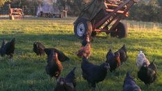 Young Australorp cross & New Hampshire cross chickens from Yummy Gardens Melbourne