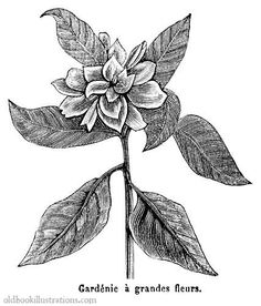Illustration showing a Common Gardenia, a fragrant flower growing in Vietnam, Southern China, Taiwan and Japan.