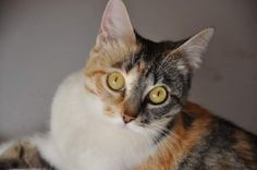 Dulce es una #gata de espectaculares ojos  en busca de familia. #novelda, #Alicante, con @adoptamics pic.twitter.com/lGEdf0EwMg @Congatos