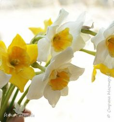 Greetings to everyone on my page !!!  Today I am to you with sunny narcissuses and MK on them) photo 1