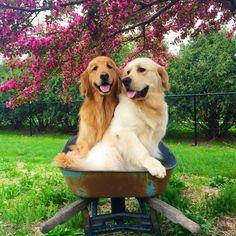 Golden Retriever Love