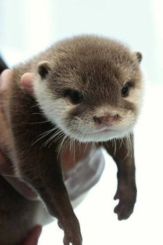 Otter cutest thing alive, we had pet otters when I was a child.