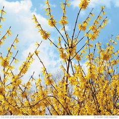 Flowering shrubs. Forsythia Forsythia spp. and hybrids Once shade-tolerant forsythia's finished flowering, its pest-free foliage will look good all summer long — some varieties even turn purple in fall. Blooms: Yellow or white flowers in early spring. Light: Full sun to part shade. Size: 1 to 10 ft. tall, 2 to 12 ft. wide. Cold-hardy USDA zones 4 to 9. Heat-tolerant AHS zones 9 to 1