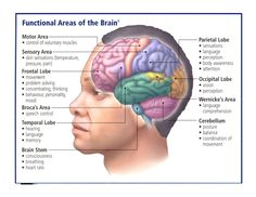 Brain Anatomy, Human Anatomy And Physiology, Medical Anatomy, Body Anatomy, Human Brain Parts, Human Body, The Human Brain, Brain Parts And Functions, Developement Personnel