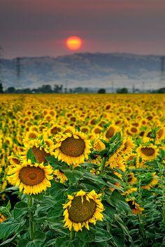 Sunset in sunflower fields, Sacramento Valley, California
