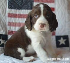 English Springer Spaniel Puppy from Birddoghill