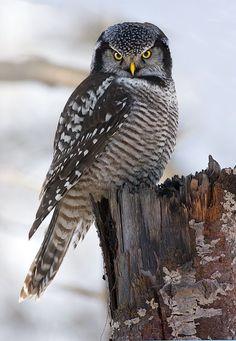 Northern Hawk Owl (Surnia ulula) - Picture 15 in Surnia: ulula - Location: Quebec, Canada. Photo by Rachel Bilodeau. Beautiful Owl, Animals Beautiful, Cute Animals, Owl Photos, Owl Pictures, Owl Bird, Bird Art, Nocturnal Birds, Tier Fotos