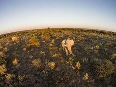 An African elephant bull walks in the Kalahari Desert at sunset in Botswana. IMAGE: PAUL SOUDERS/CORBIS #male #Africa #fisheye #elephants