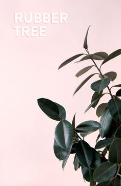 house plant guide | designlovefesthouse plant guide | designlovefestlight: bright, indirect sunlight is best – like next to a window that has sheer curtains, for example.  water: allow the soil surface to dry slightly in-between waterings. if you notice droopy leaves, it's time to water. Rubber Plant, Rubber Tree, Indoor Palm Trees, Indoor Plants, Plant Guide, Types Of Flowers, Balcony Garden, Pretty Flowers, Houseplants