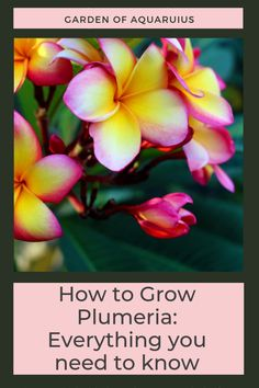 a plumeria master with my comprehensive guide to growing plumeria from cuttings. Step-by-step tutorial will take you from planting pruning watering fertilizing repotting to winter care. Don't wait get growing this beautiful plumeria plant today. Outdoor Plants, Garden Plants, House Plants, Outdoor Gardens, Plumeria Care, Plumeria Flowers, Growing Flowers, Growing Plants, Planting Flowers